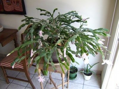 trimming christmas cactus plants steps on how to prune a christmas cactus cactus and other. Black Bedroom Furniture Sets. Home Design Ideas
