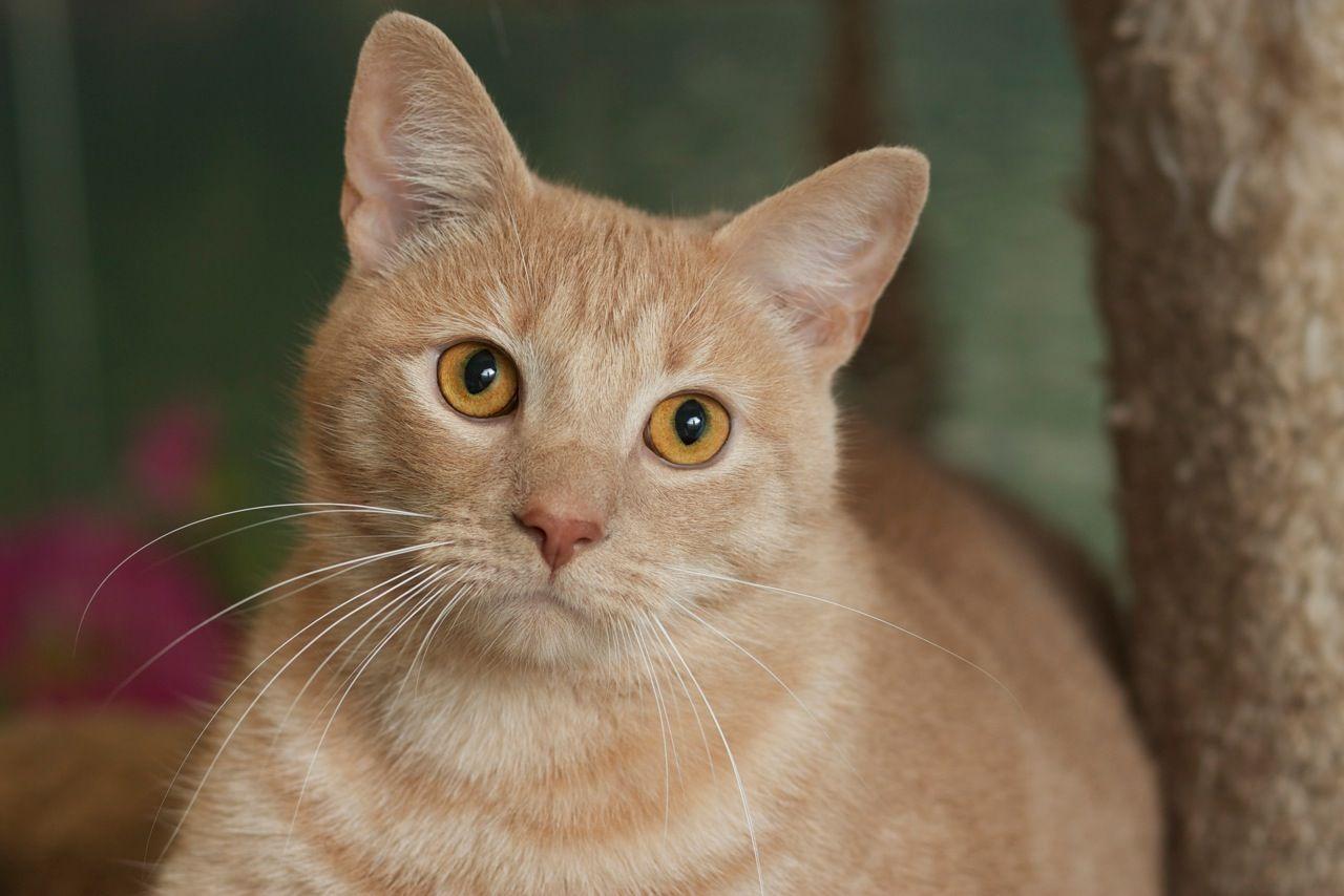 Simba Tabby Cat Siberian Cats For Sale Cat Adoption