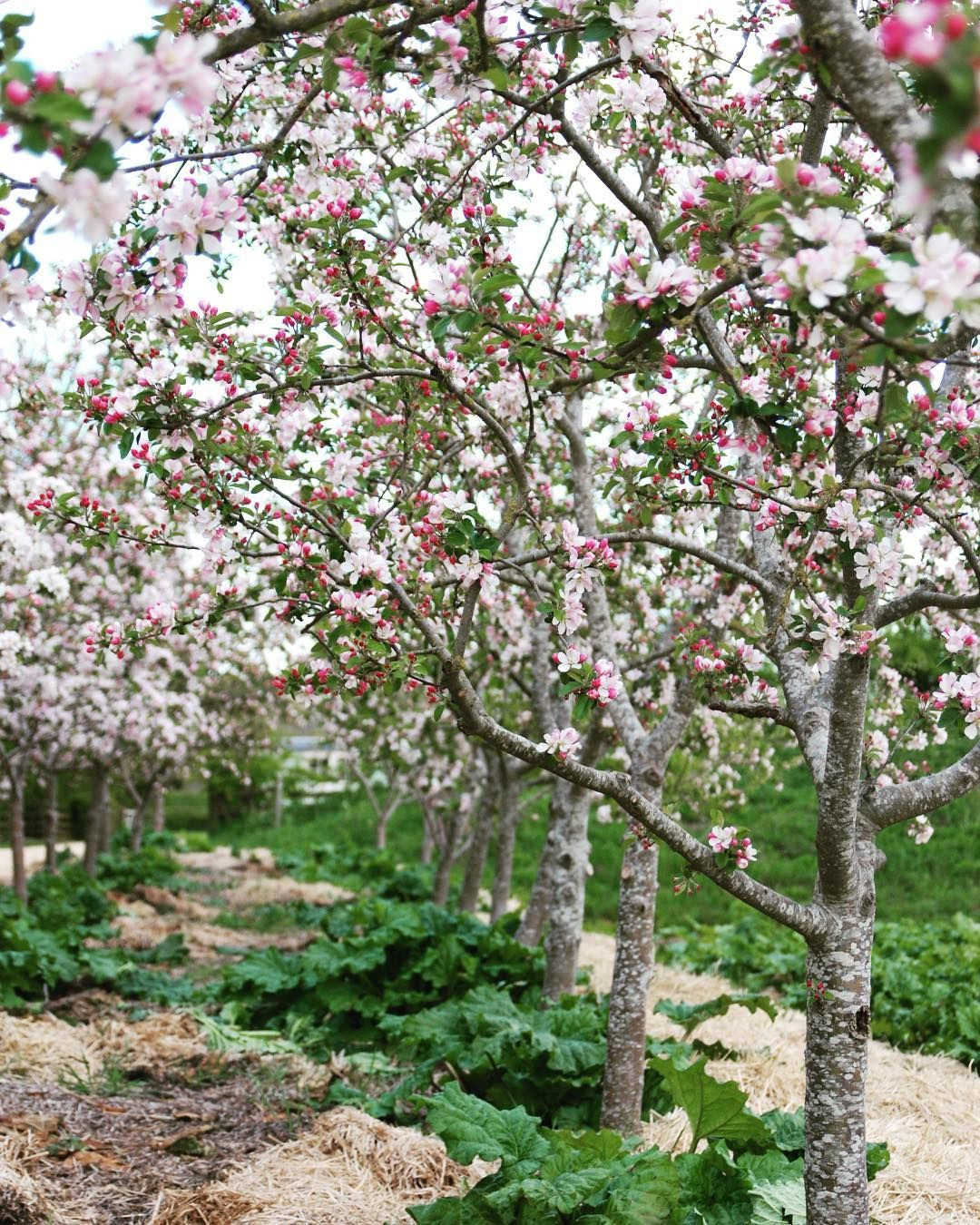 Carole Bamford On Instagram The Market Garden Daylesfordfarm Has Been Blossoming Our Apple Trees And Rhubarb Are Showing They Apple Tree Market Garden Tree