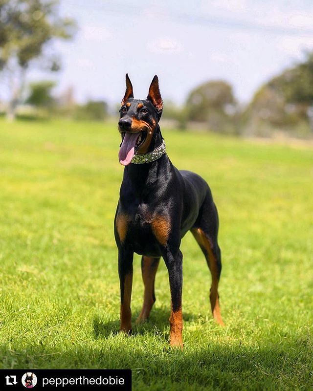 Like If You Love To See You Dog Happy Dobergear Credit