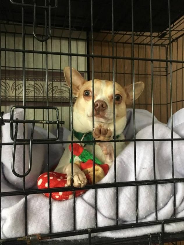 Adopt Joey On Animal Rescue Pets Chihuahua Dogs