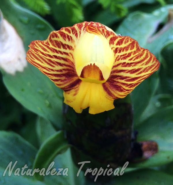 flor caracter stica de la planta ornamental y medicinal