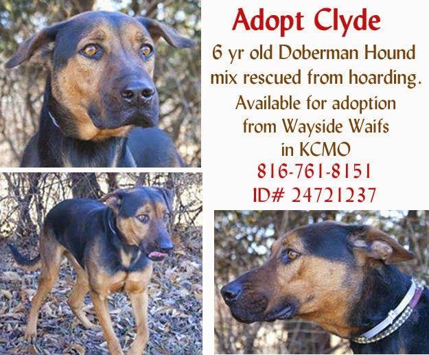 Adopt Clyde A 6 Year Old Doberman Pinscher Hound Mix Who Was