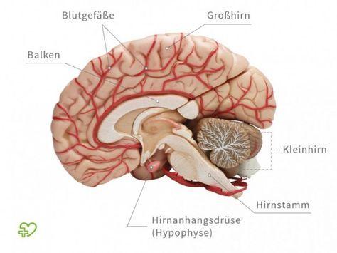 Gehirn: Aufbau und Funktion Kleinhirn | Pinterest | Qi gong