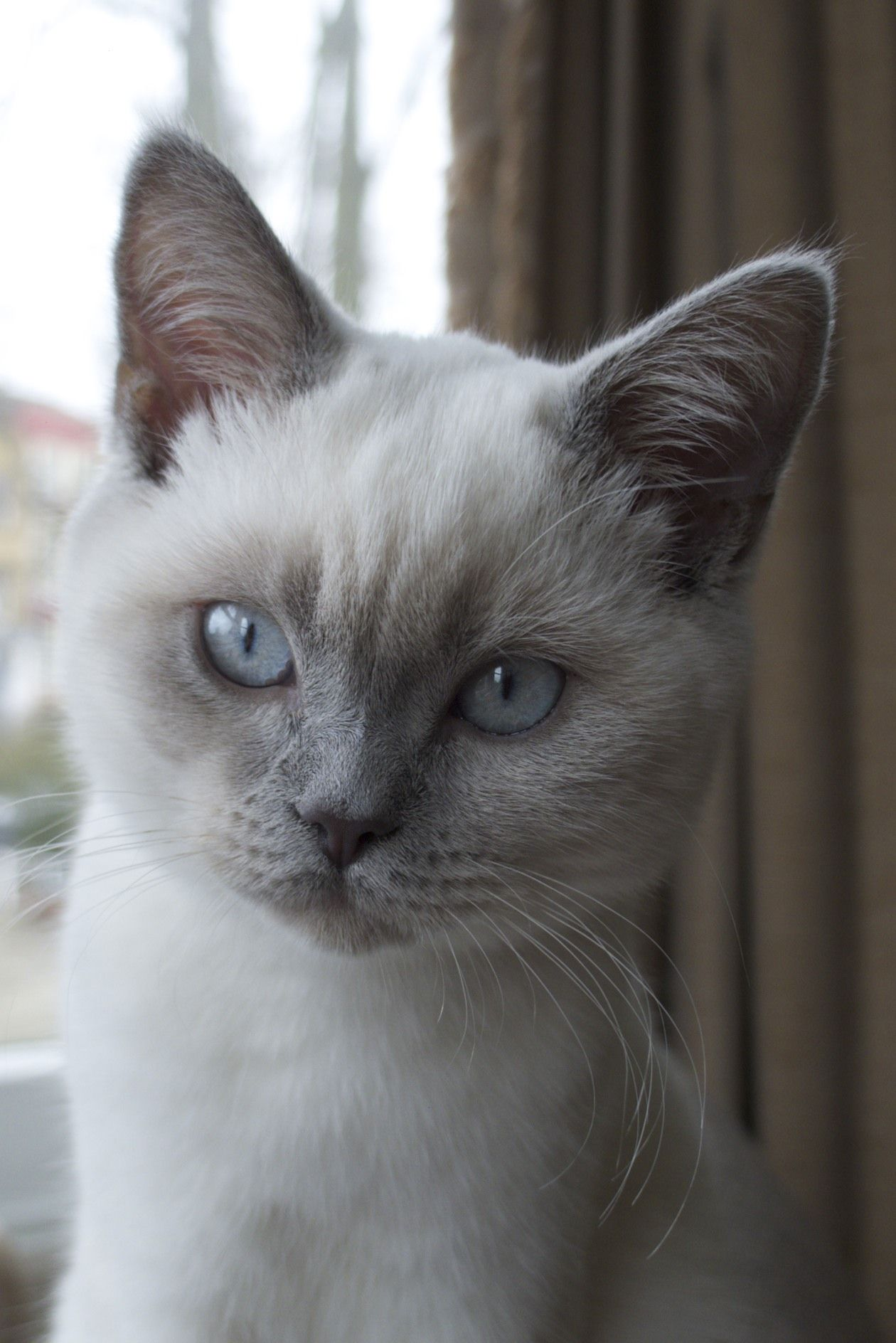 Pretty Blue Eyes Bella Luna Is My Colourpoint British Shorthair Katzenliebe Tiere Katzen
