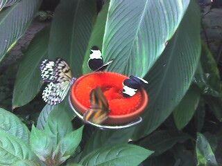 34855ee9b4a82f63122157d765f4b277 - Meijer Gardens Butterfly House Grand Rapids