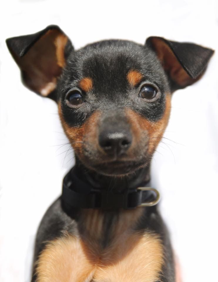Meet Spiro He Was 8 Weeks Old In This Picture Mini Pinscher