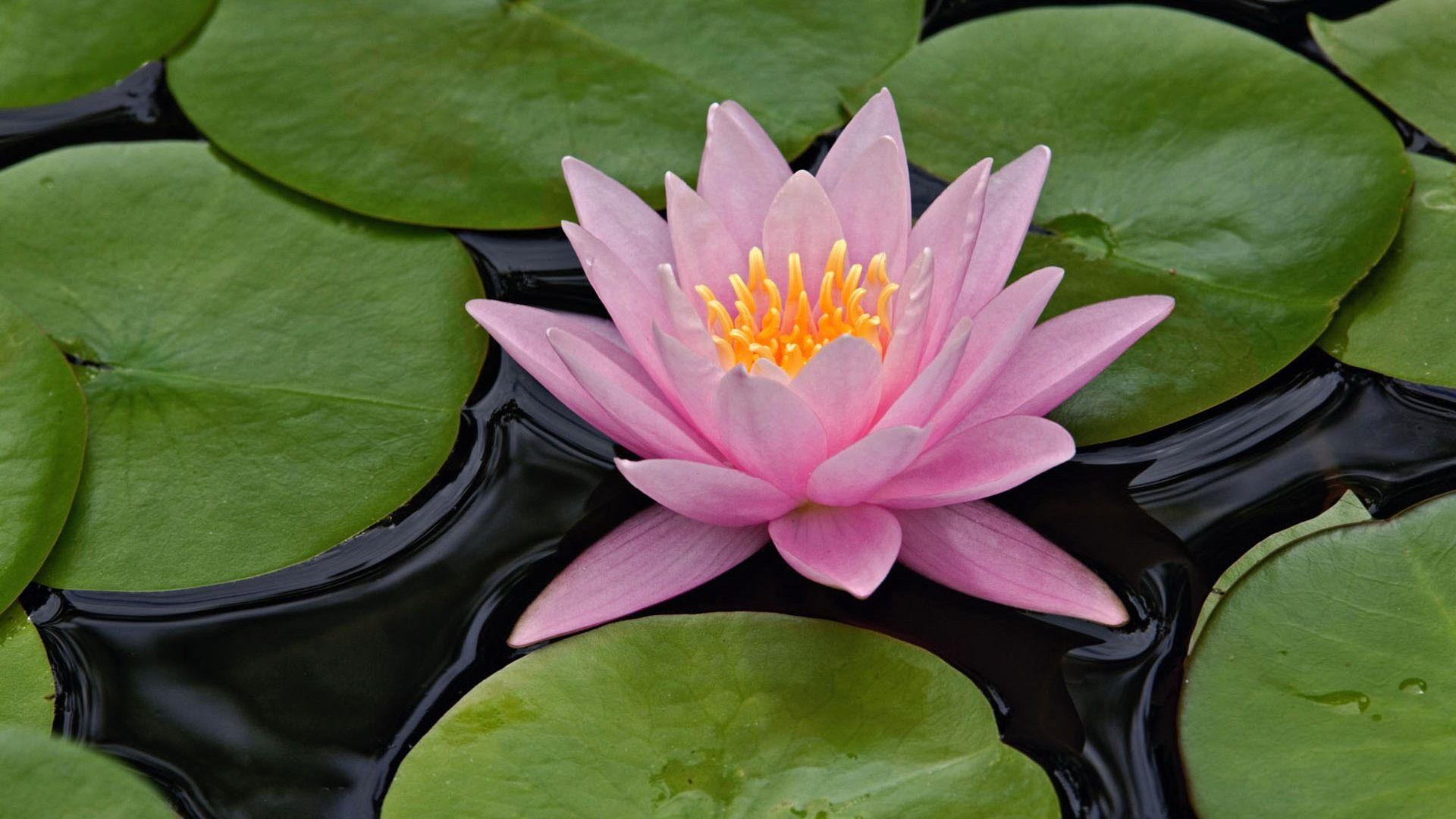 Lotus Flower Hd Wallpaper Lotus Flower Pictures New