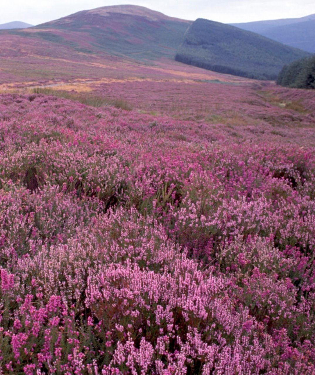 Fields Of Heather Irish Countryside Irish Countryside Fields Countryside