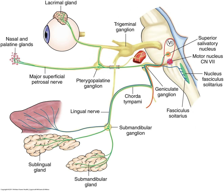 Cn7 Parasympathetic Ganglia