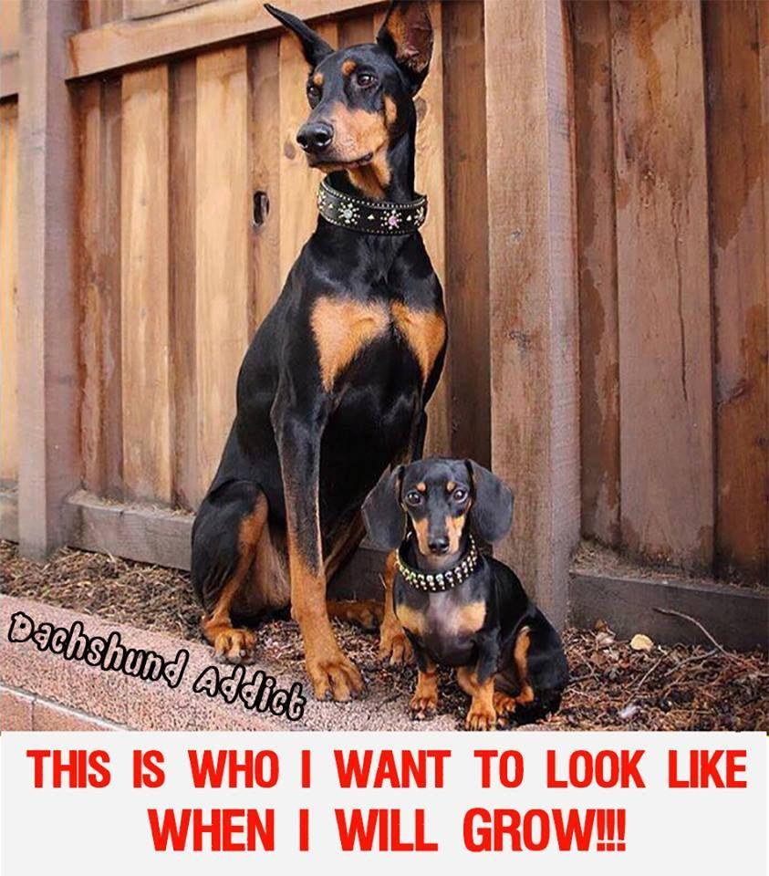 Great Dane Sausage Dog Dachshund Love Dachshund Puppy Doxie Dackel