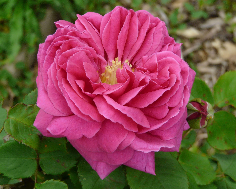 Hybrid Perpetual Rose: Rosa 'Docteur Georges Martin' (France, 1908)