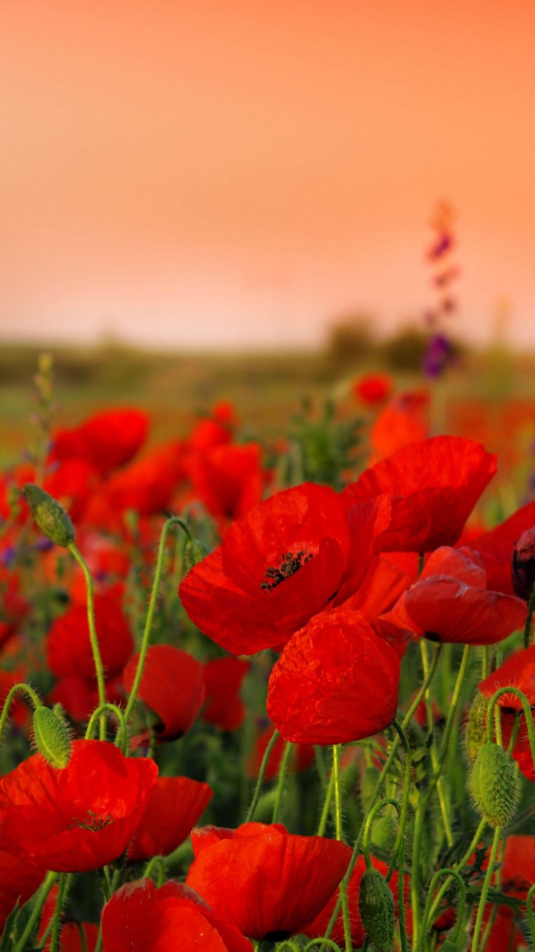 1080x1920 wallpaper poppies, flowers, field, sharpness, summer