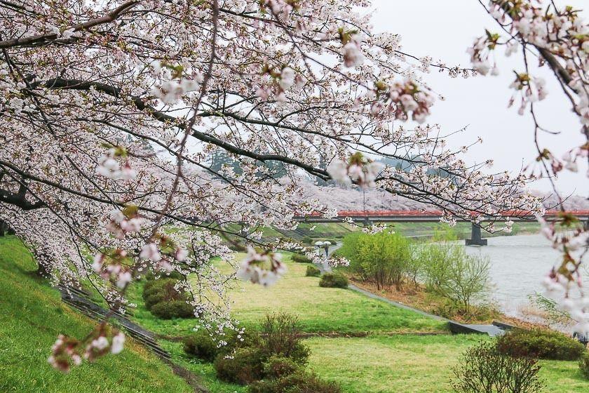 Cherry Blossom Reports 2017 Kakunodate Full Bloom Yoshino Cherry Tree Weeping Cherry Tree Cherry Blossom Festival