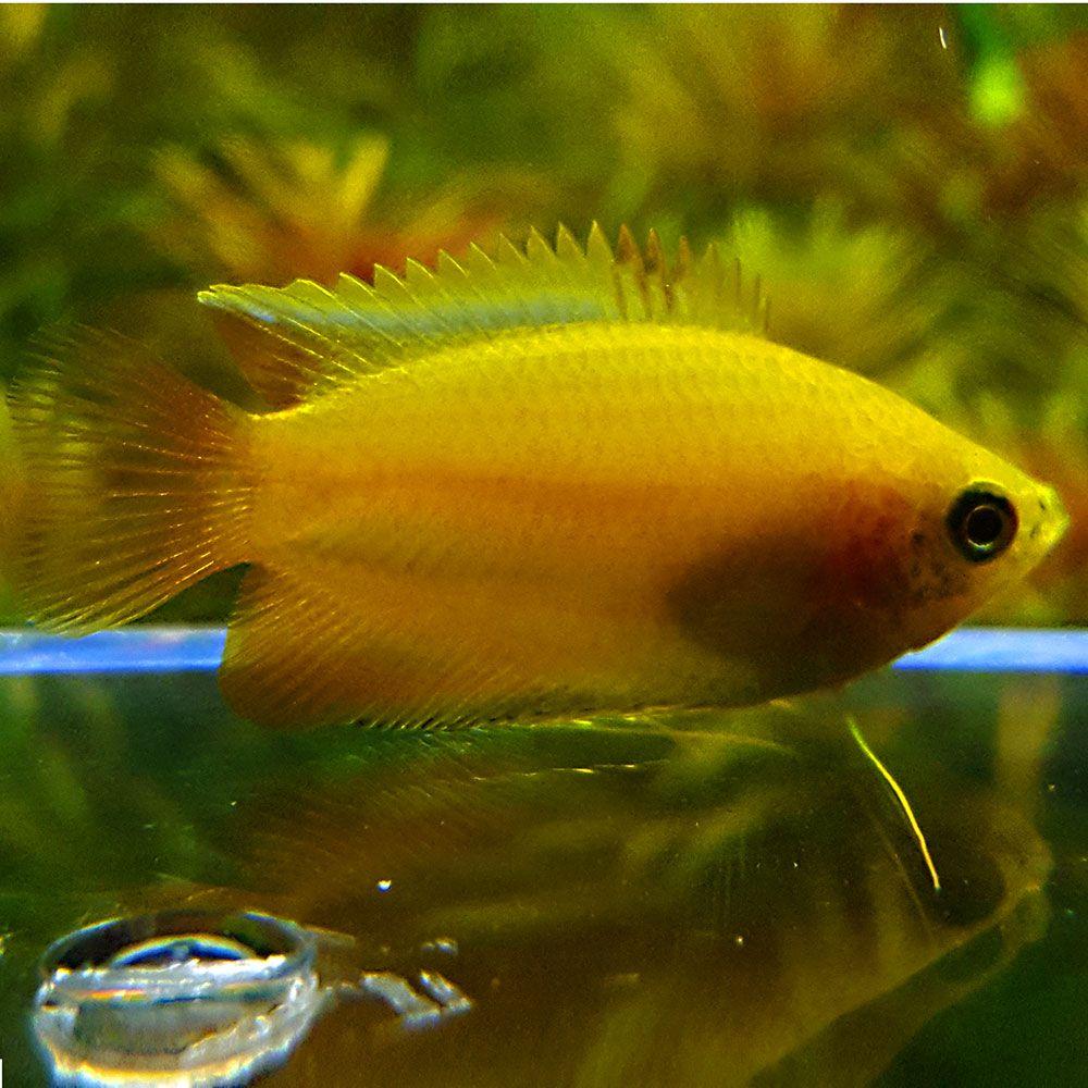 Gold Honey Gourami Aquarium Fish Community Fish Tank Fish