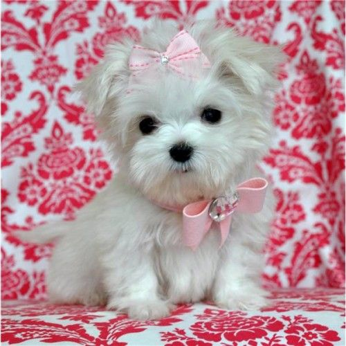 Micro Teacup Poodle White Cute Animals Maltese Puppy Teacup