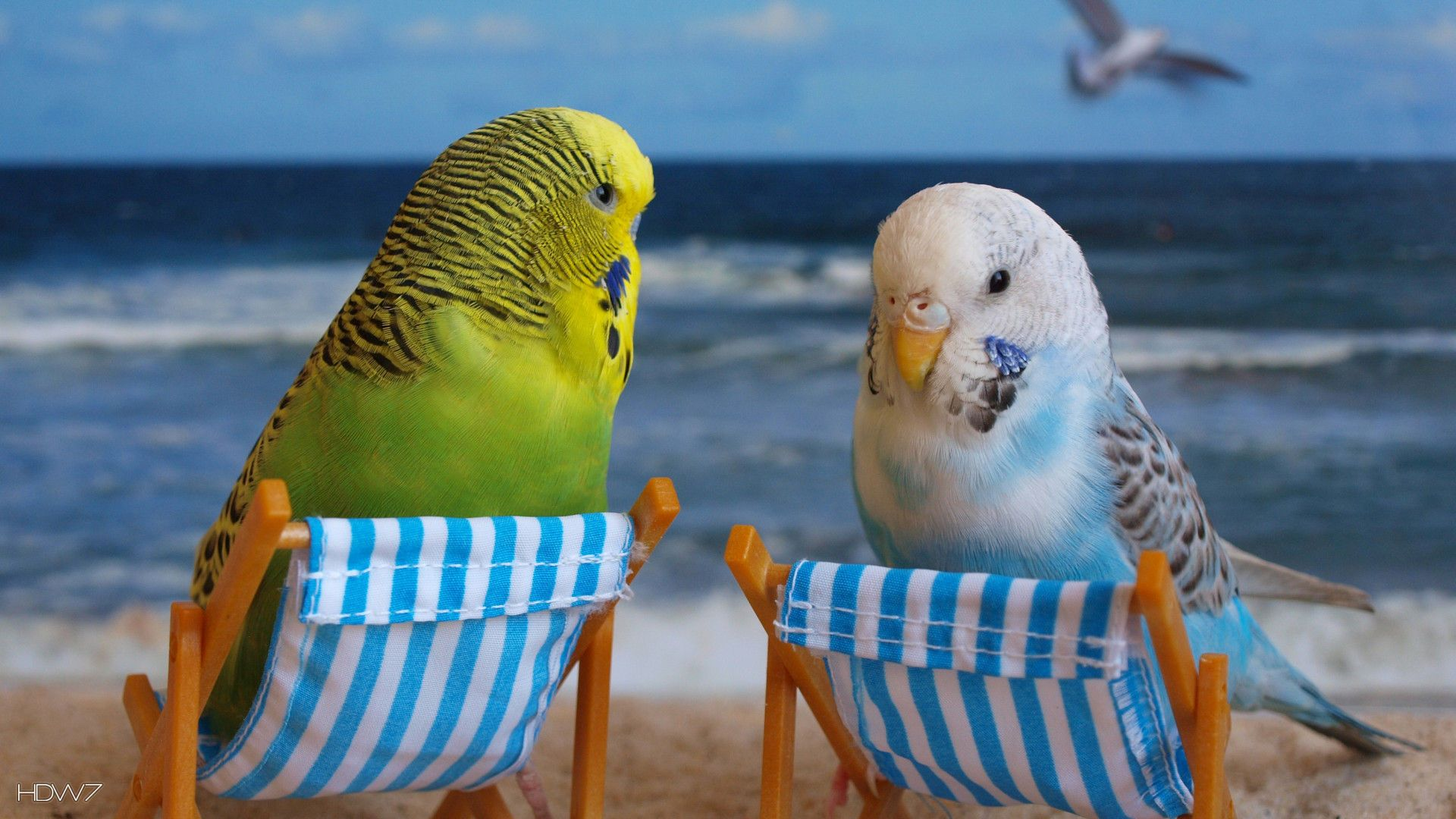 budgie wallpaper birds hd backgrounds Lustige papageien