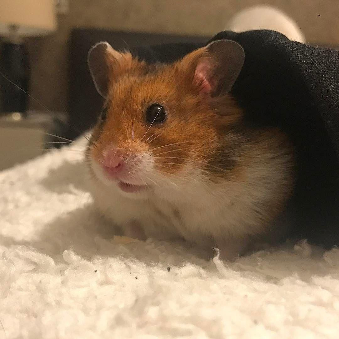 20 Pictures Of Syrian Hamster Aww Cute Adorable In 2020 Syrian Hamster Cute Baby Animals Cute Cats And Dogs