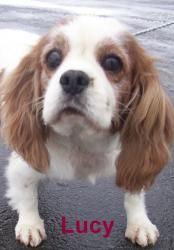 Adopt Lucy On Small Dog Adoption Dog Sounds Spaniel Dog