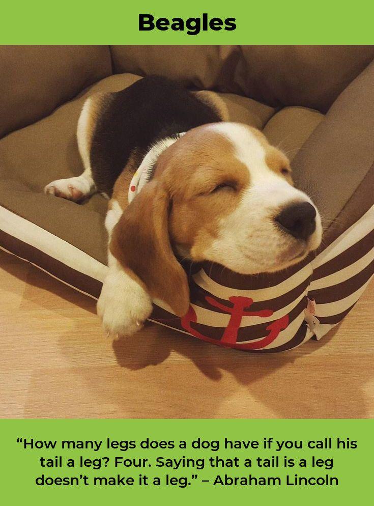 Beagle Puppies Beaglepuppy Beagles Training Beagle Beagle