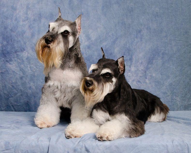 Q A Champion Miniature Schnauzer Mini Schnauzer Breeders Texas Mini Schnauzer Schnauzer Pets