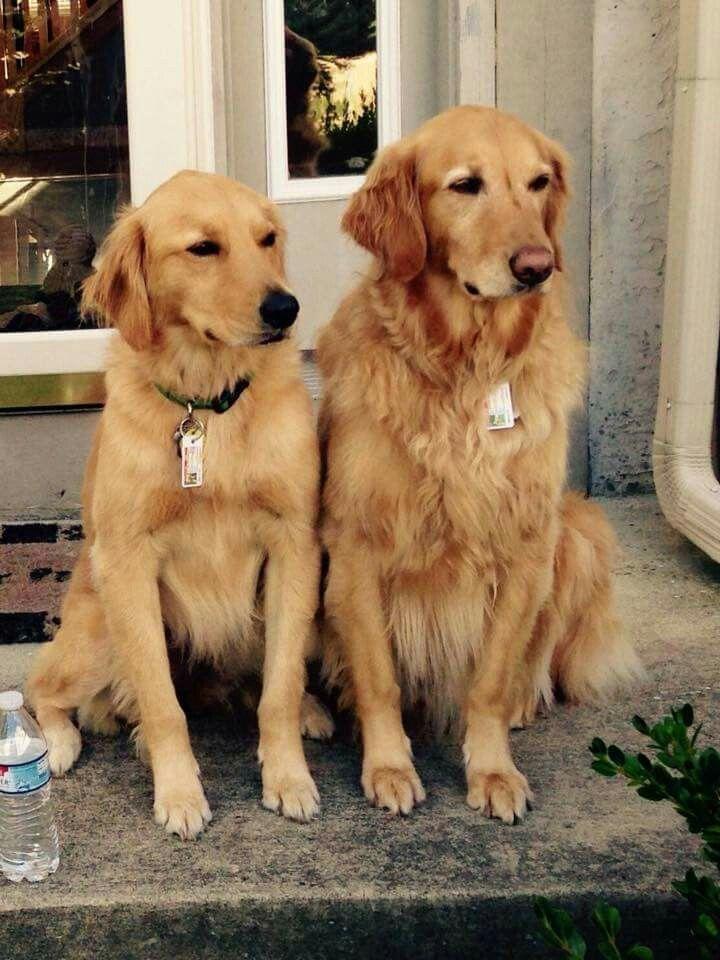 A Sweet Couple Dogs Golden Retriever Dog Love Pet Dogs