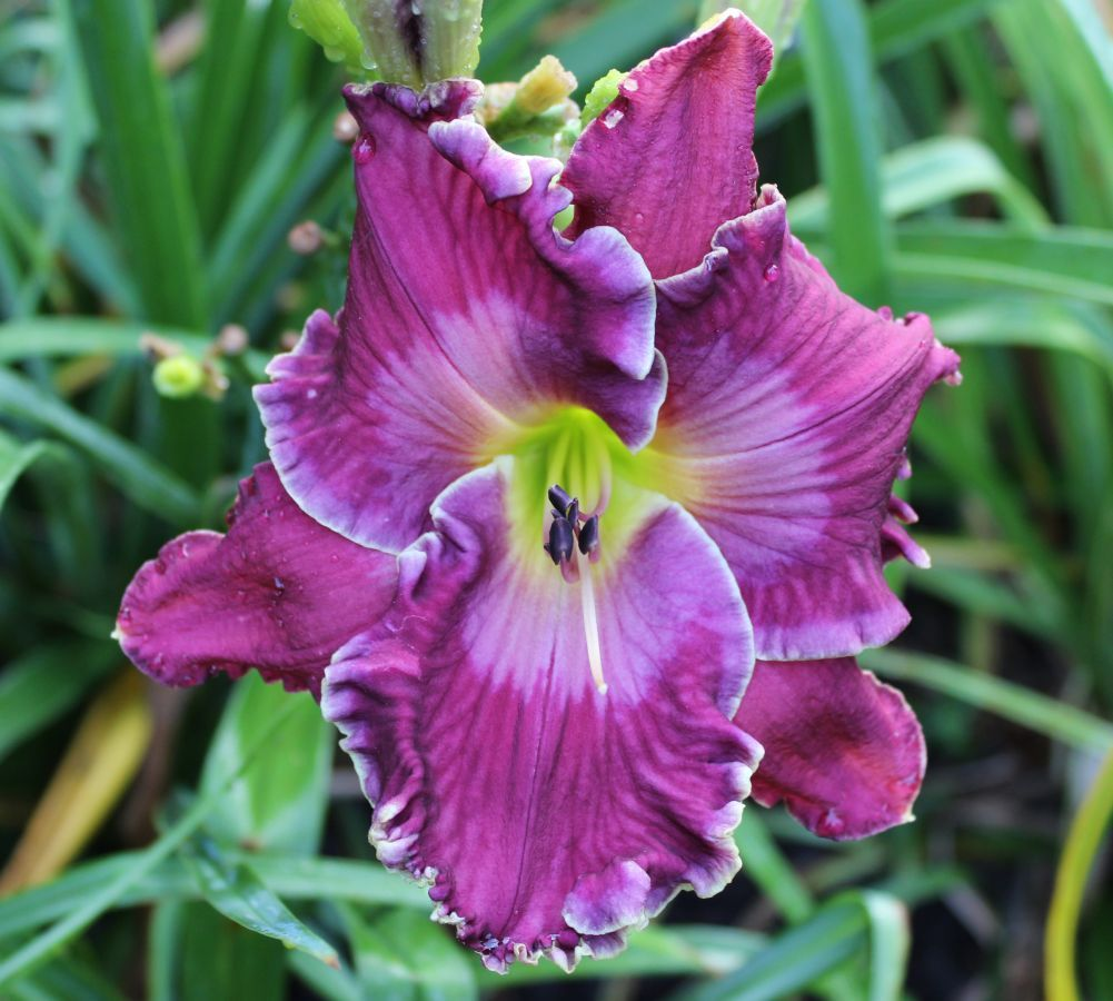 Daylily, Hemerocallis 'Cup of Cold Water' (Emmerich, 2009