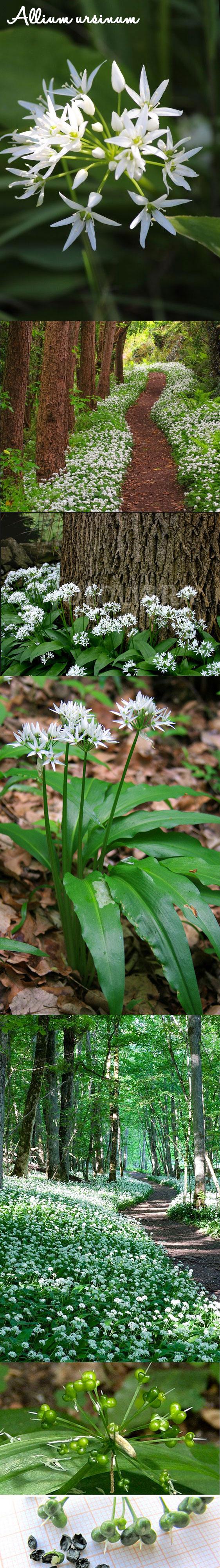 AIL DES OURS Attirent de nbx pollinisateurs. Donne des graines noires vers fin Mai qui sont très ...