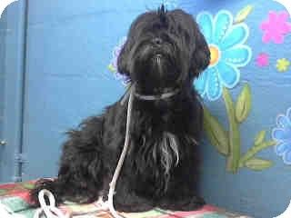 Portland Or Havanese Shih Tzu Mix Meet Kennedy A Dog For Adoption Kennedy Is A Fancy Lady With Jet Black Hair Accented With Wh Havanese Pets Dog Adoption