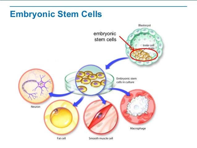 what are embryonic stem cells biology essay Stem cell essay contest winner category 1: claire august the essay stem cells and at what point you have to acknowledge biology and the simple shift in.