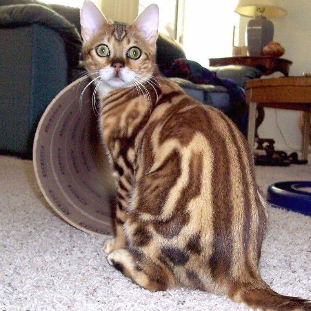 Fun Facts Many Cats Cannot Properly Digest Cow S Milk Milk And Milk Products Give Them Diarrhea Photo Bengal Cat Gorgeous Cats Cats