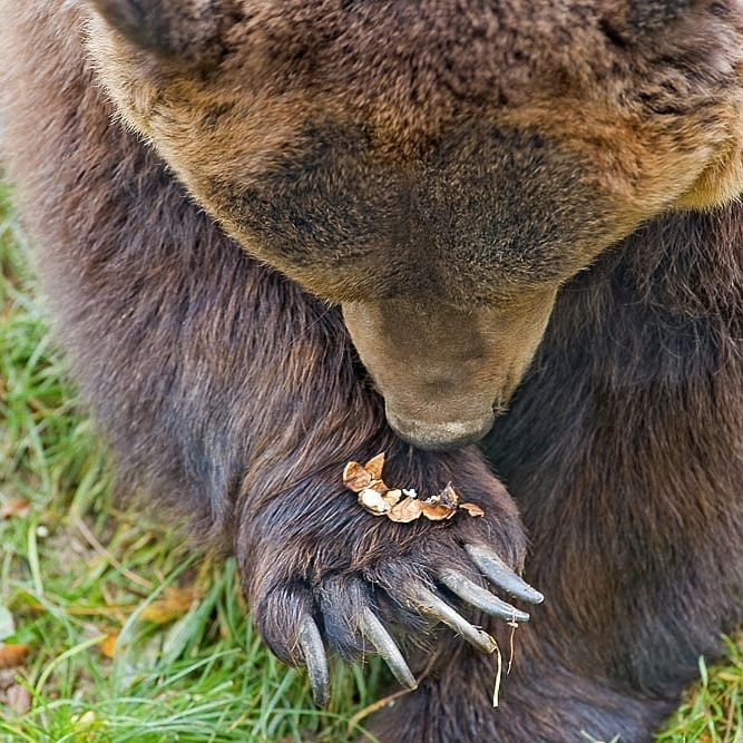 Pin by Gail Valleau on 01. BEARS Brown bear, Spectacled
