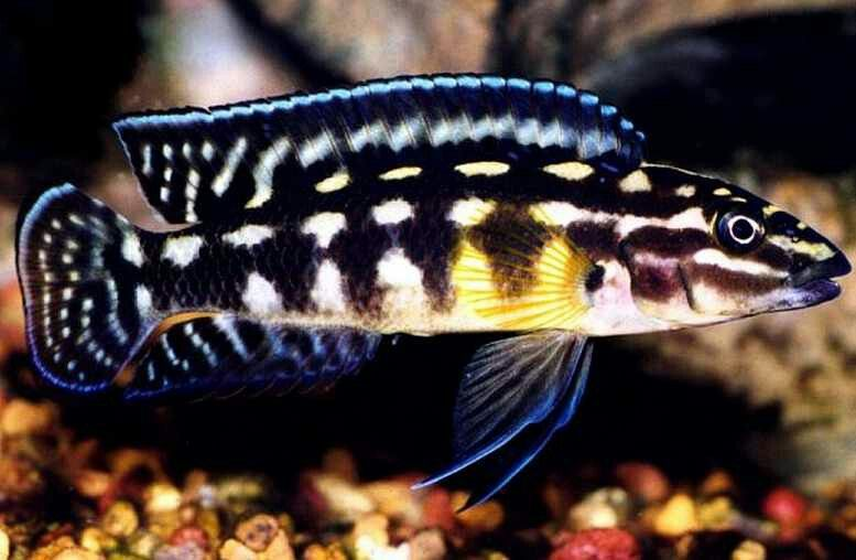 Julidochromis Marlieri Beautiful Fish Fish Fish Pet