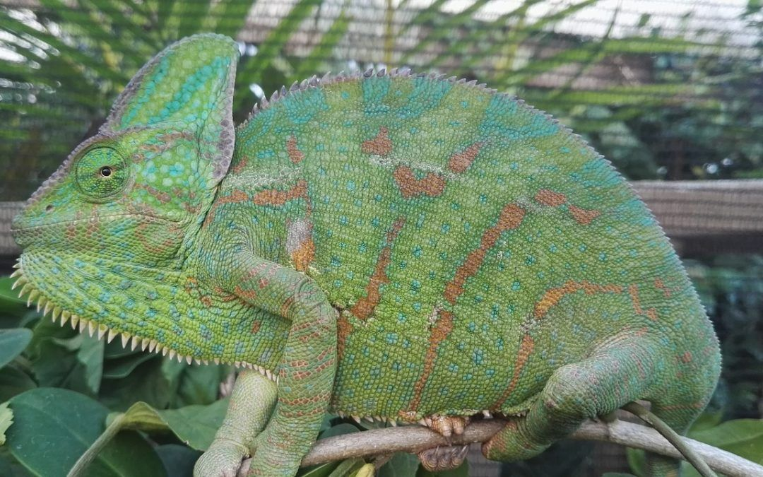 Things You Need to Know in Keeping Chameleons as Pets