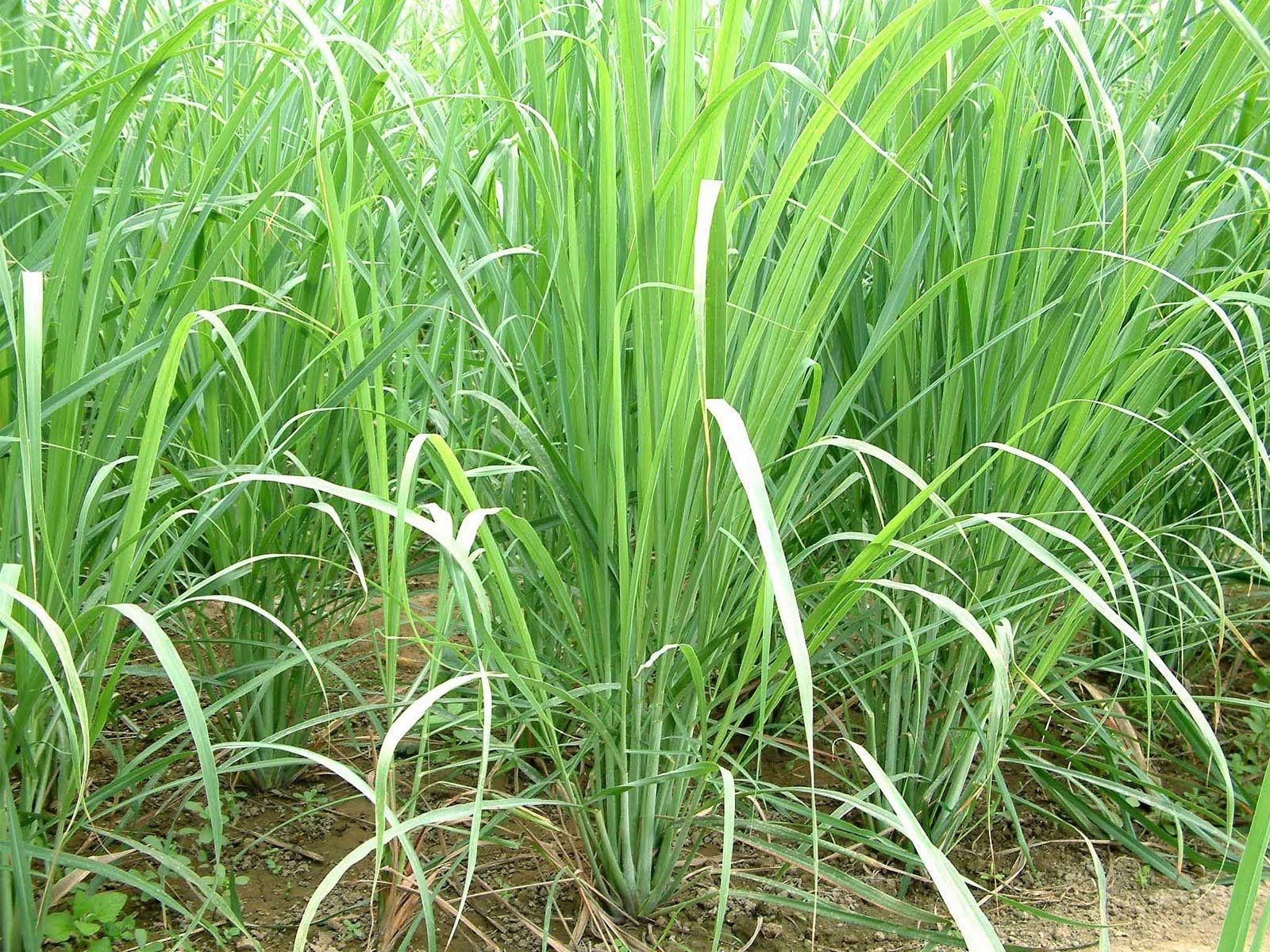 How to grow lemon grass from seed - Cymbopogon Lemongrass Citronella Grass