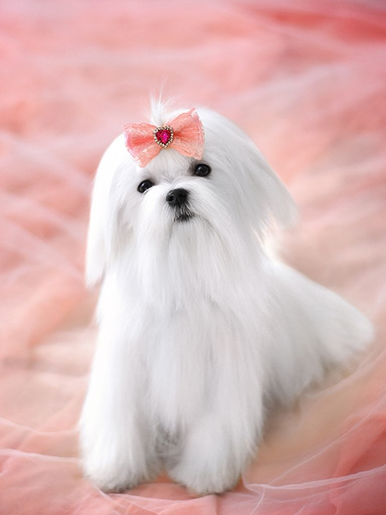 Maltese For Sale Maltese Puppies Teacup Puppies Maltese Maltese Puppy Maltese Dogs