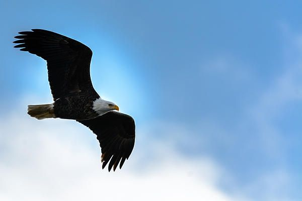 A bald eagle surveys his kingdom from high in the sky.