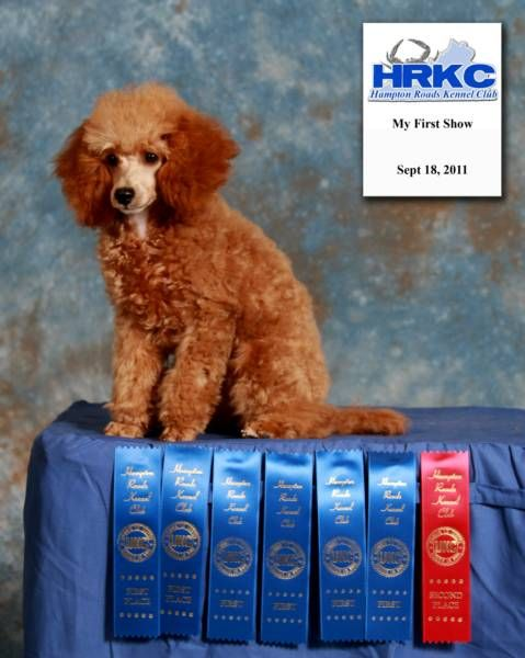Marjo Poodles Nc Poodle Breeder Akc Registered Red Poodle