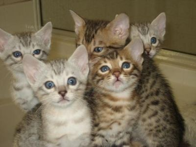 Bengal Kittens With Images Bengal Kitten