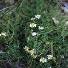 chamomile plant care