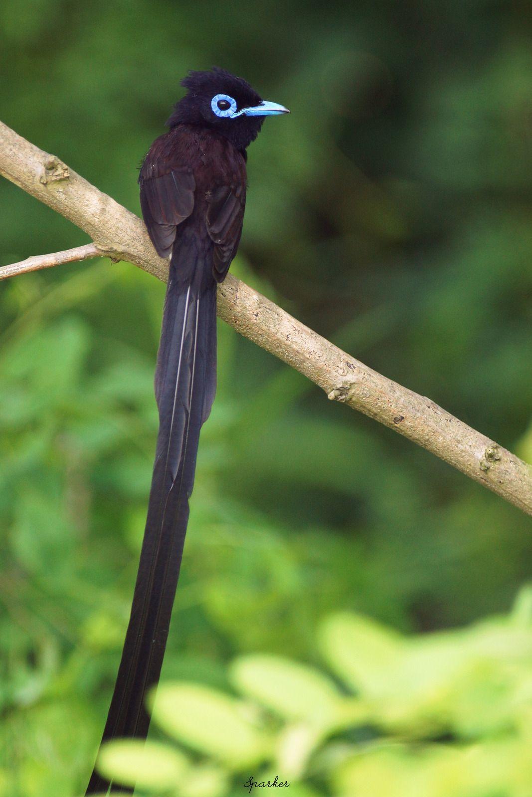Pin on Aves. MONARCHIDAE (paradise flycatchers