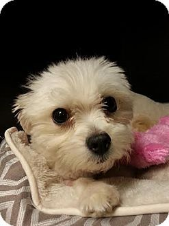 Bloomington Il Maltese Meet Autumn A Dog For Adoption Http