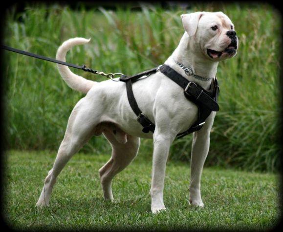 Breed Of The Day American Bulldog American Bulldog American