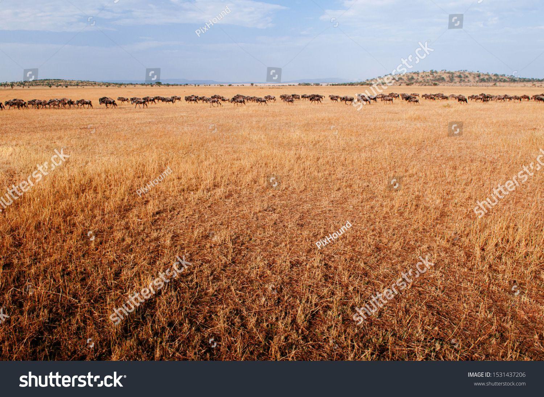 Herd of African wildebeest in golden grass meadow of Serengeti Grumeti reserve Savanna forest in evening - African Tanzania Safari wildlife trip during great migration #Ad , #Sponsored, #Serengeti#meadow#reserve#Grumeti