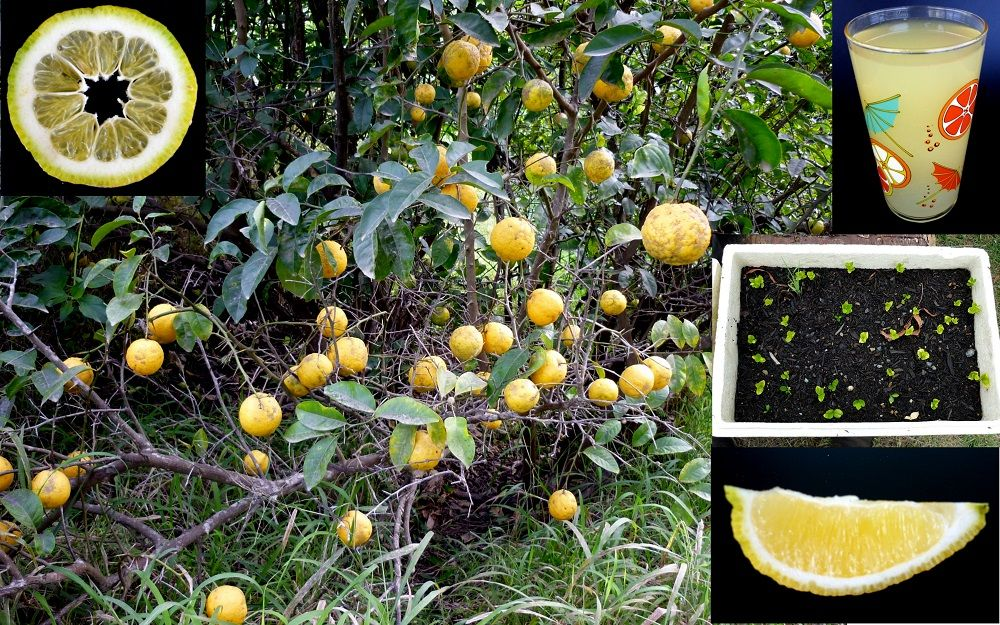 Bush Wild Lemon Citrus Limon Seeds Fruit Picking Seeds Tree Seeds
