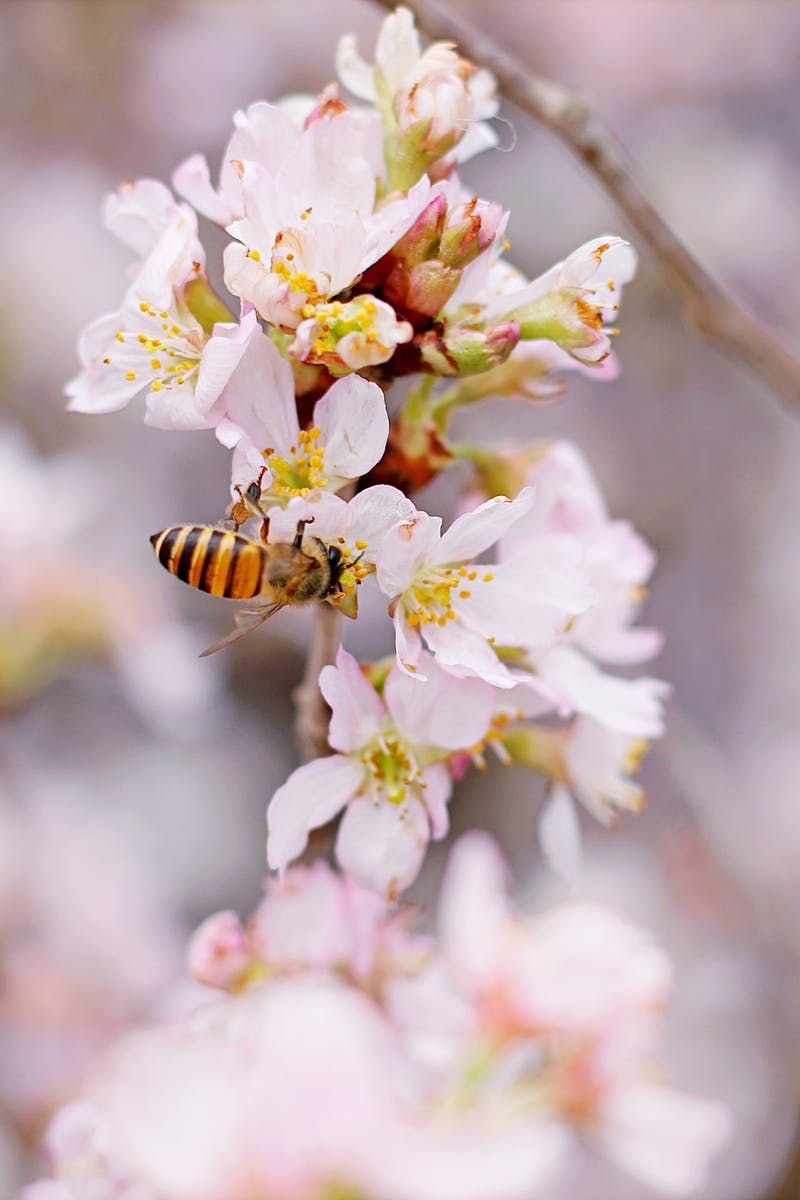 Closeup Photo Of Honeybee Perched On Pink And White Cluster Flowers