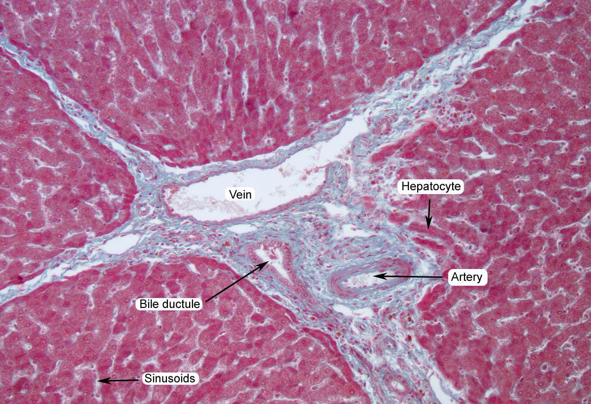 PIG_RIAD_200X_label.jpg 1,200×820 pixels | Anatomy 2 Lab Practical ...