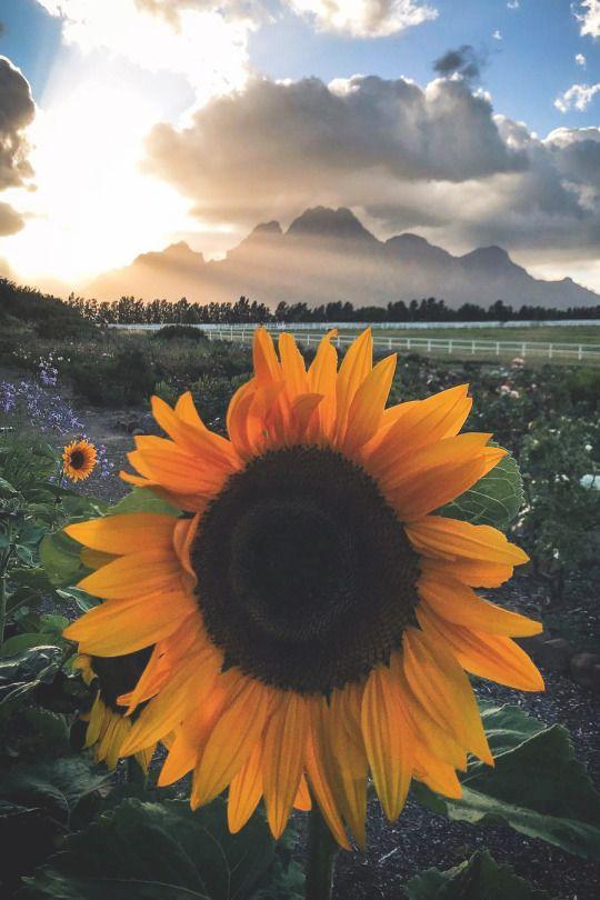 Sunflowers are pretty   gavman18