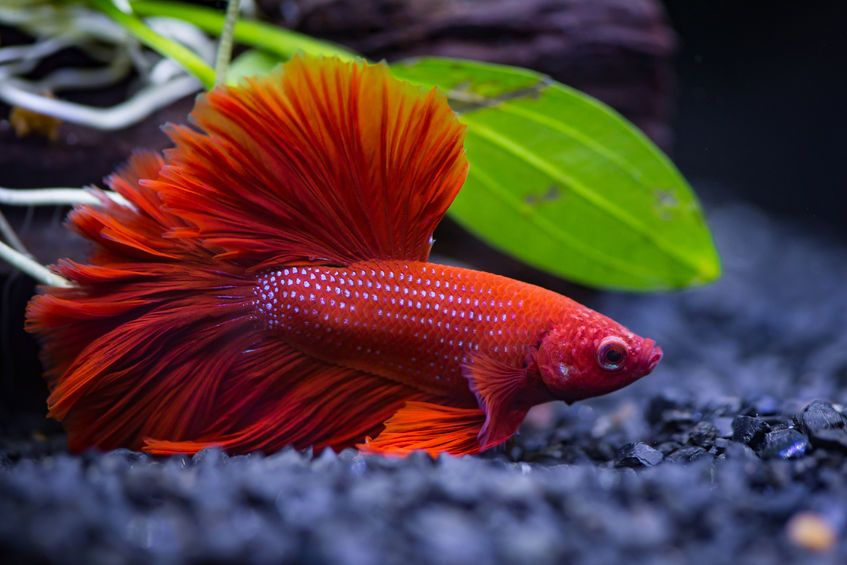 Frequently Asked Questions About Betta Fish Fish Aquarium