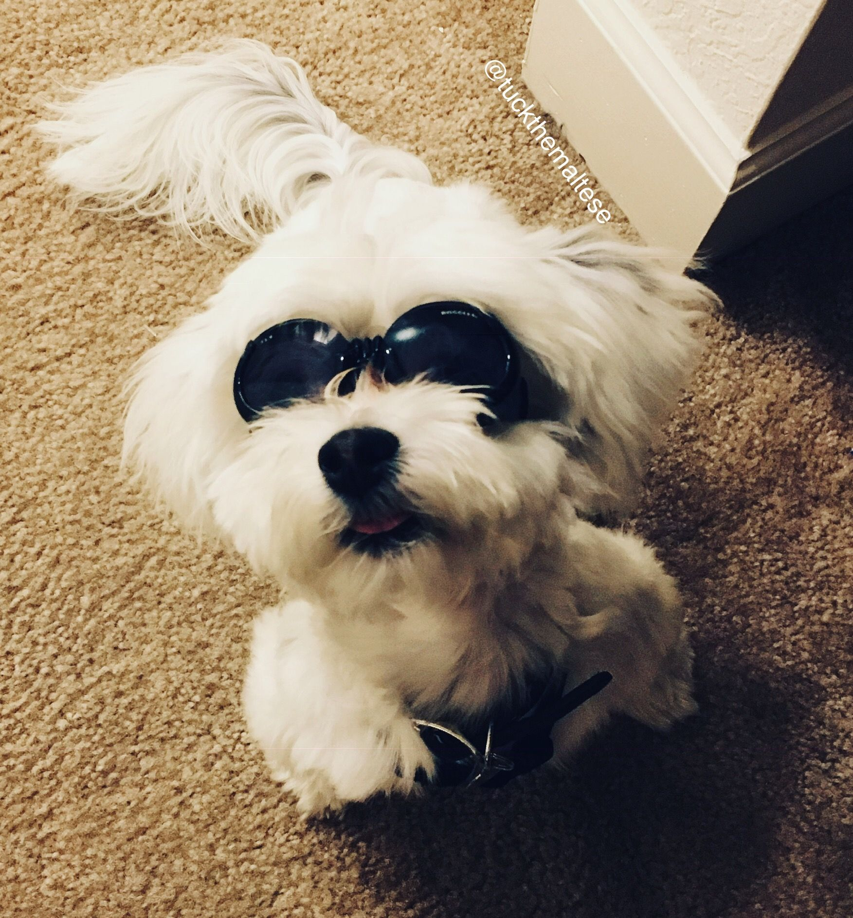 The Cutest Shelter Pup Meet Tuck The Maltese Treats And Tails Spotty Dog Pup Dog Care